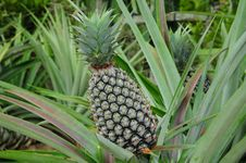 Pineapple Plant With Fruit Royalty Free Stock Image