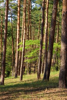 Free Forest With Pine Trees Stock Images - 186892044