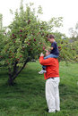 Free Apple Picking On Dad S Shoulders Royalty Free Stock Photo - 18696425