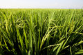 Free Paddy Field Stock Images - 18698194