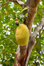 Free Jackfruit Stock Photography - 18699842