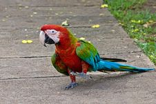 Free Red And Green Macaw Royalty Free Stock Photography - 18690437