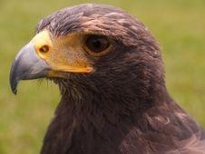 Head Falcon Royalty Free Stock Photo
