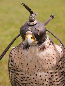Falcon Head Stock Photography
