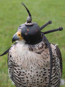 Falcon Head Royalty Free Stock Photos