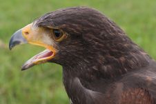Falcon Head Stock Photo