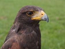 Falcon Head Stock Photos