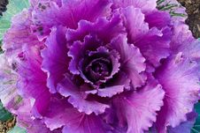 Red Decorative Cabbage Royalty Free Stock Images