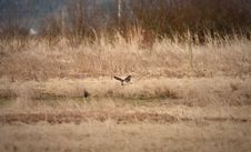 Free Short-eared Owl Royalty Free Stock Photography - 18693727