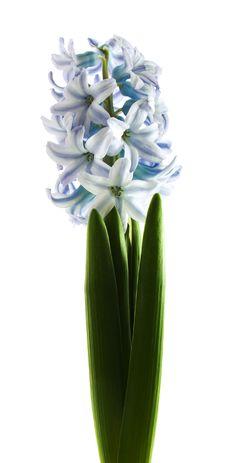 Free Blue Hyacinth Royalty Free Stock Image - 18694066