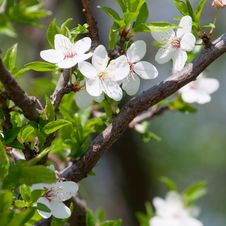 Free Spring Blooming Cherry Branch Royalty Free Stock Image - 18695826