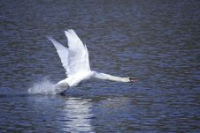 Swan Taking Off Stock Photo
