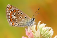 Free Butterfly Common Blue (Polyommatus Icarus) Stock Images - 18696464