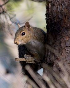 Free Frisky Squirrel Stock Photo - 18697360