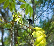 Red Wattle Bird Stock Image