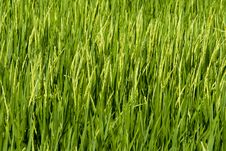 Free Paddy Field Royalty Free Stock Images - 18698289