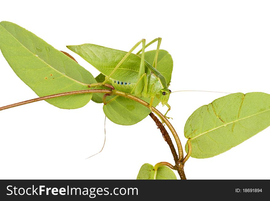 Green Grhopper With Wings Like Leaves
