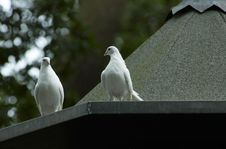 Free White Doves Stock Image - 1870031