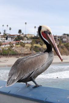 Pelican On Blue Rail Stock Photography