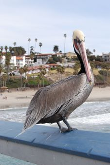 Free Pelican On Rail Stock Image - 1870971