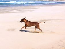 Free Running Ridgeback Royalty Free Stock Photo - 1871765