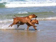 Free Ridgebacks Playing Royalty Free Stock Photo - 1871945