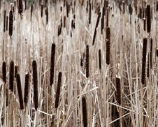 Free Cattail Field Royalty Free Stock Image - 1873956