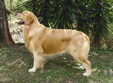 Golden Retriever Posing Royalty Free Stock Photography