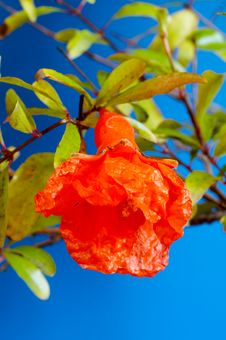 Free Fruit Of Pomegranate Royalty Free Stock Photo - 1877555