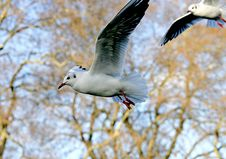 Free Sea-gulls 3 Stock Photo - 1878370