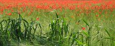 Free Poppies Stock Image - 1879661
