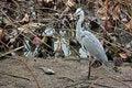 Free Gray Heron (lat. Ardea Cinere) Royalty Free Stock Image - 18717726