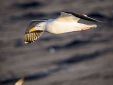 Free Seagull Flying Over The Ocean Royalty Free Stock Images - 18710499