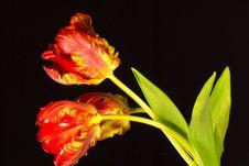 Free Three Tulips Stock Photography - 18710872