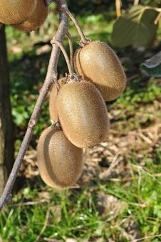 Free Kiwis On Branch Stock Image - 18711831