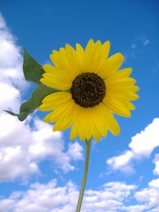 Free Sunflower Royalty Free Stock Photo - 18713425