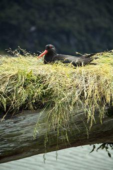 Oyster Catcher Bird New Zealand Stock Image