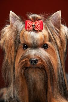 Free Yorkshire Terrier Stock Photography - 18714462