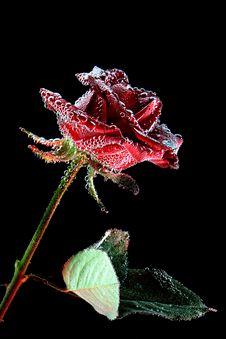 Free Red Rose Royalty Free Stock Image - 18714856