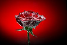 Rose With Water Drops Royalty Free Stock Photos