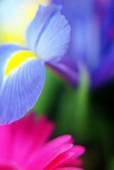 Free Blue Yellow Dutch Iris And Gerbera Stock Images - 18715044