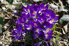 Free Crocuses In The Sun Stock Photo - 18716370