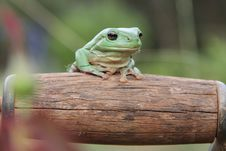 Free Green Frog Stock Photography - 18716592