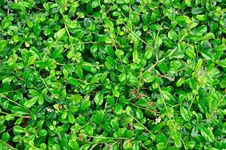 Free Background Of Green Leaves Royalty Free Stock Images - 18716779