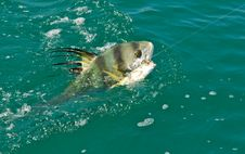 A Rooster Fish On The Line In The Ocean Stock Image