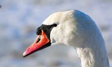 Free Portrait Of A Swan Royalty Free Stock Image - 18718766