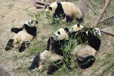Free China Panda In Chengdu Royalty Free Stock Photo - 18718785