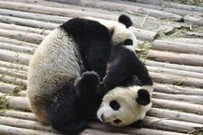 Free China Panda In Chengdu Royalty Free Stock Images - 18718809