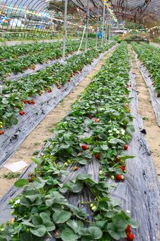 Free Strawberries Field Stock Photo - 18719390