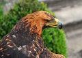 Free Eagle Stock Image - 18728321